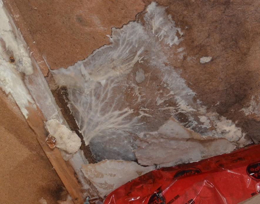 Moisissure et champignon, cachés suite à une infiltration d'eau dans la maison.